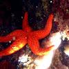 Estrella espinosa roja