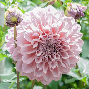 Pretty in Pink by Sharon Wills - Flowers Flower Gardens ( south australia, adelaide botanical gardens, plants, flowers,  )