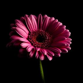 Germini by Sondre Gunleiksrud - Flowers Single Flower ( canon, contrast, black background, single flower, lightroom, flower )