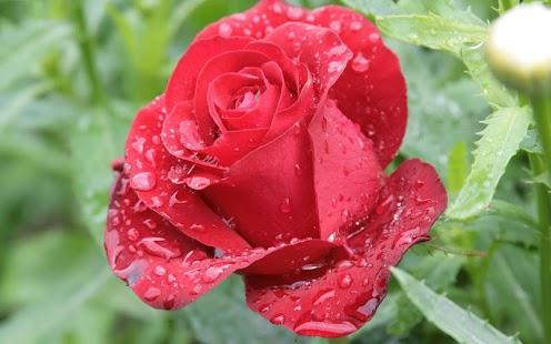 玫瑰動態桌布