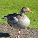 Greylag Goose / Graugans
