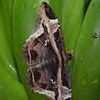 Mariposa Nocturna - Moth