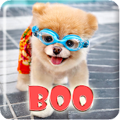 Boo Cutest Dog Wallpaper