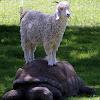 Sheep & Tortoise