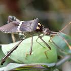 Florida Leaf-Footed Bug