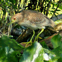 Black-crowned Night Heron (immature)