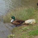 Manky duck