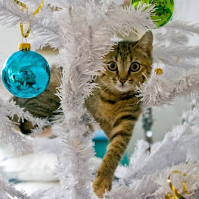 Ma come si può avere contemporaneamente in casa un albero di Natale ed una gatta??? by Gianni Pezzotta - Animals - Cats Playing ( , #GARYFONGPETS, #SHOWUSYOURPETS )