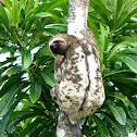 Preguiça-bentinho (Three-toed Sloth)