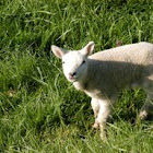 Lamb (sheep)