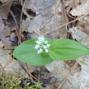 Massachusetts mayflower