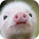 Pig Sounds Piggy Sounds Prank icon