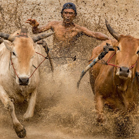 Pacu Jawi by Teddy Winanda - News & Events Sports ( indonesia tourism, minangkabau culture, racing cows, west sumatera touris, pacu jawi )