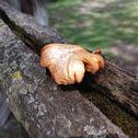 Bracket wood fungi
