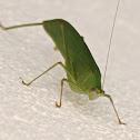 long-legged katydid