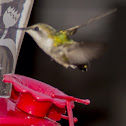 Ruby-throated humming bird female