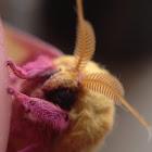 rosy maple leaf moth