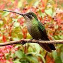 Maginificent hummingbird (female)