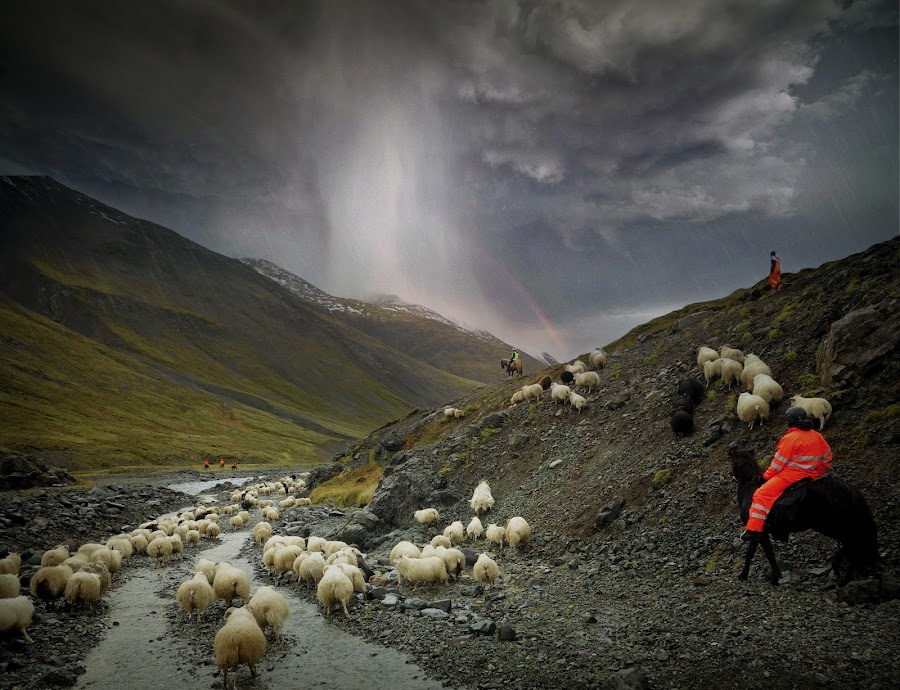 Into the storm by Kristján Karlsson - Landscapes Weather ( stormy, iceland, horses, weather, sheep, landscape, storm )