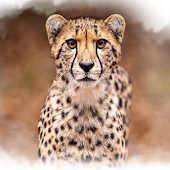 Cheetah Loper
