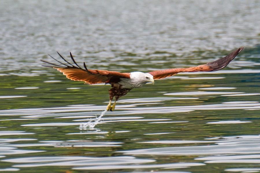 Brahimy kite by Ralf  Harimau - Animals Birds ( april 2014, mangroventour, brahminy kite )