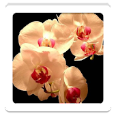 Orchid HD Wallpapers
