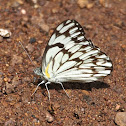 African Veined White