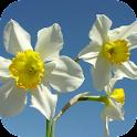 Daffodils Live Wallpaper icon