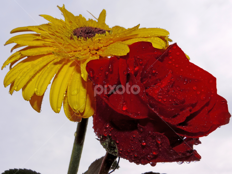 red and yellow by LADOCKi Elvira - Flowers Flower Arangements ( lowers,  )