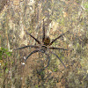 Common Forest Huntsman Spider