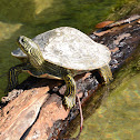 Texas Cooter