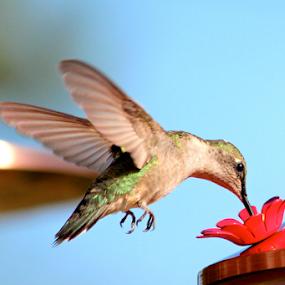 by Barbara Suggs - Animals Birds (  )