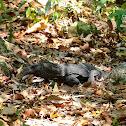 Roughneck monitor lizard