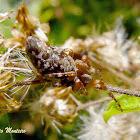 Trash Line Orb Weaver Spider