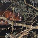 Formosan Giant Flying Squirrel