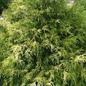 Arcadia juniper