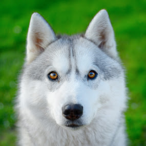 San by Paweł Prus - Animals - Dogs Portraits ( breed, almond, canis, pull, sled, harsh, spring, siberia, looking, colour, family, icee, husky, grey, working, light, coat, black, sibe, look, nordic, spitz, grass, green, white, siberian, portrait, color, female, pet, background, lupus, sibirsky, ears, active, bitch, brown, dog, dense, nose, shaped )