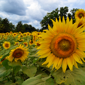 We Are In This Together by Corinne Noon - Flowers Flower Gardens ( field, farm, petals, sunflowers, flowers, usa, Hope )