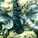 Red lionfish (dark variation)