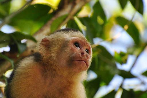 capuchin-Rios-Costa-Rica - A white-headed capuchin in Rios, Costa Rica.