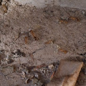 Golden Ant/ Carpenter ant