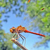 Autumn Meadowhawk - male