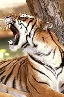Screenshot of Tiger Wallpaper
