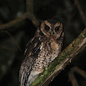 Long-tufted Screech-Owl