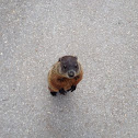 Groundhog, also known as a Woodchuck, Whistle-Pig, or in some areas as Land-Beaver