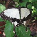 African Swallowtail/ Mocker Swallowtail