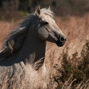 Running Through the Field by Jeri Curley - Animals Horses ( field, horse, running horse, animal, white horse,  )