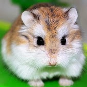 Funny Hamster wallpaper