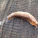 Gray field slug