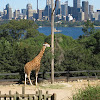 Rothschild's Giraffe - Taronga Zoo, Sydney